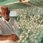 Ver à soie bombyx du mûrier