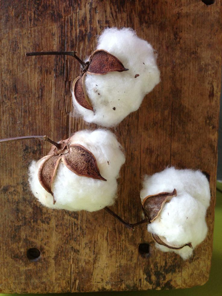 Culture et recolte du coton
