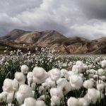 Coton biologique - Propriétés, origine, avantages et caractéristiques