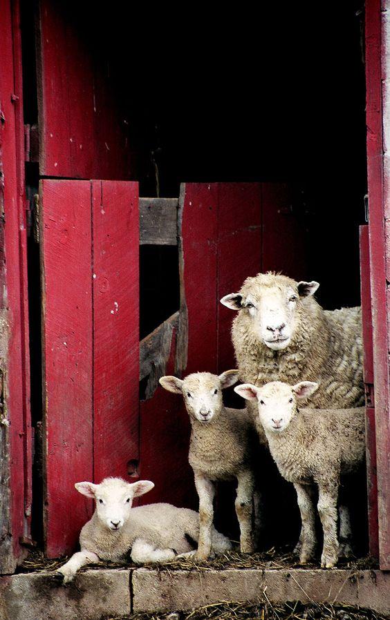 histoire de la laine