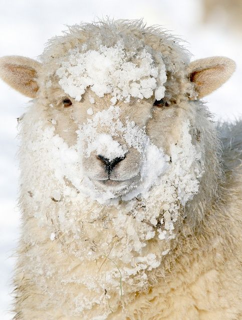 laine de moutons