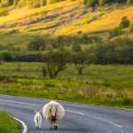 Origine, histoire, commerce de la laine de mouton et des animaux à laine